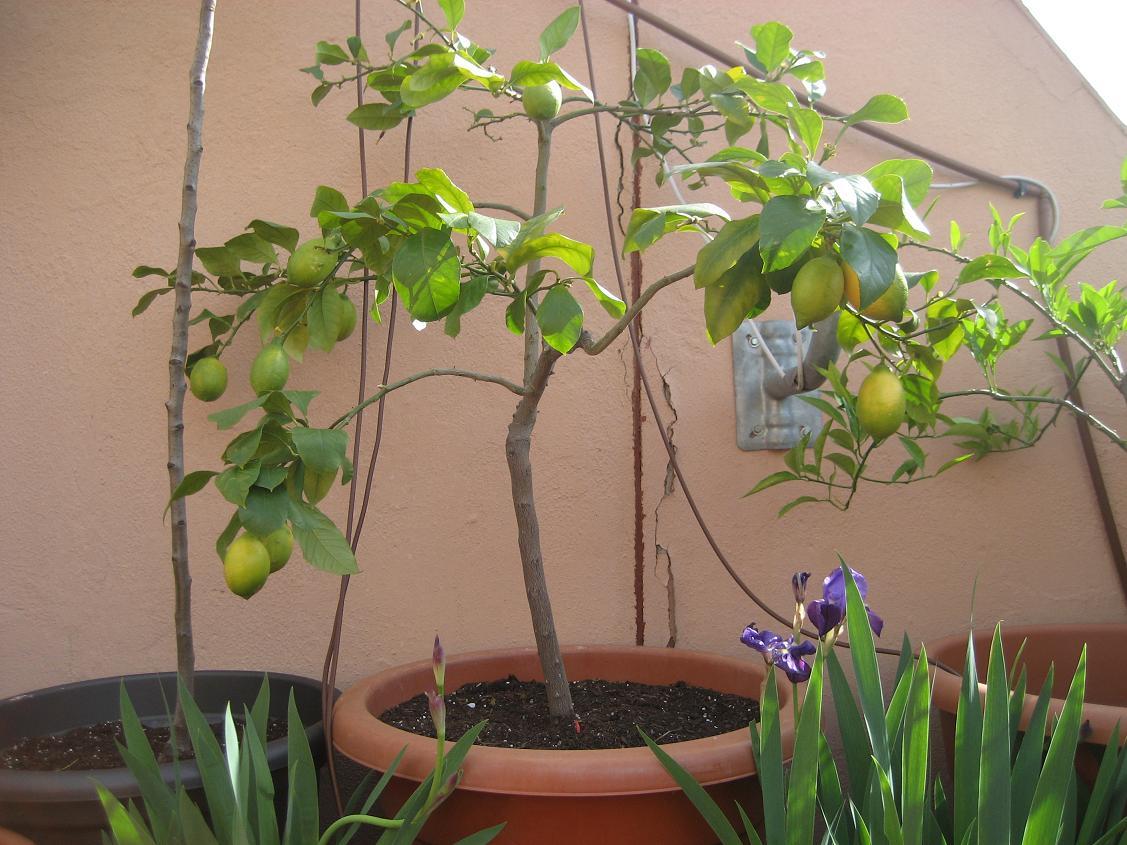 Cultivo de c tricos en macetas p gina 42 - Limonero en maceta ...