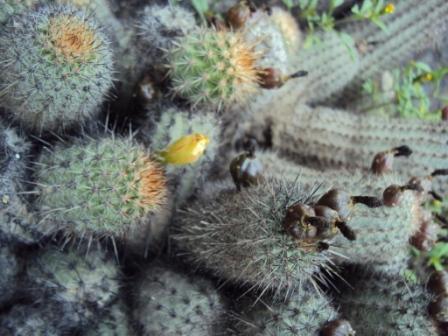 Venta de semillas de per for Semillas de cactus chile