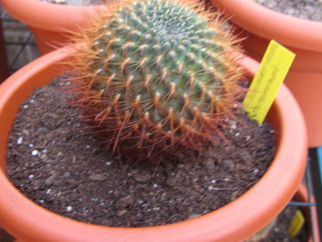 Nuevos cactus - Infojardin cactus ...