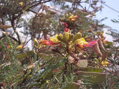 Semillas de poinciana - Caesalpinia gilliesii cultivo ...