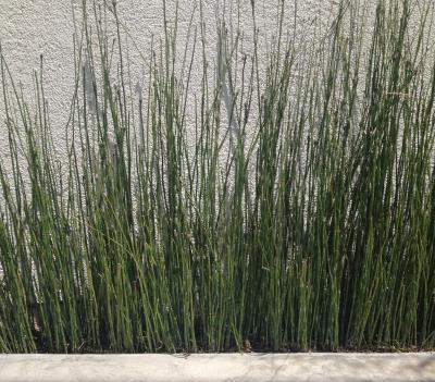 C mo se llama esta planta - Como se planta el bambu ...