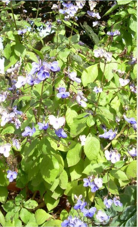Nombre del arbusto de llamativas flores azules - Arbustos nombres ...