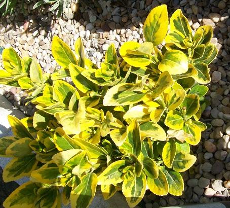 Identificar planta de hojas amarillas for Plantas decorativas hojas