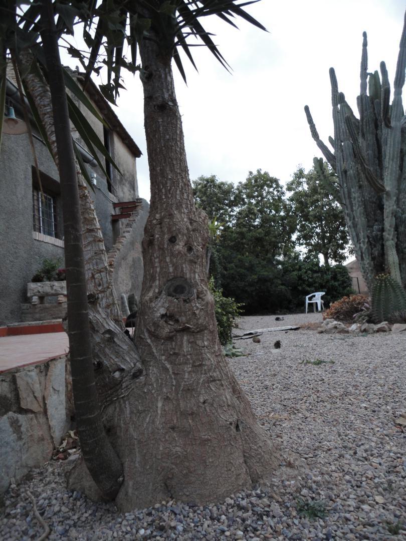 Yuca de la que sale de su tronco por la base un rbol brachychiton foto curiosa - Yuca infojardin ...