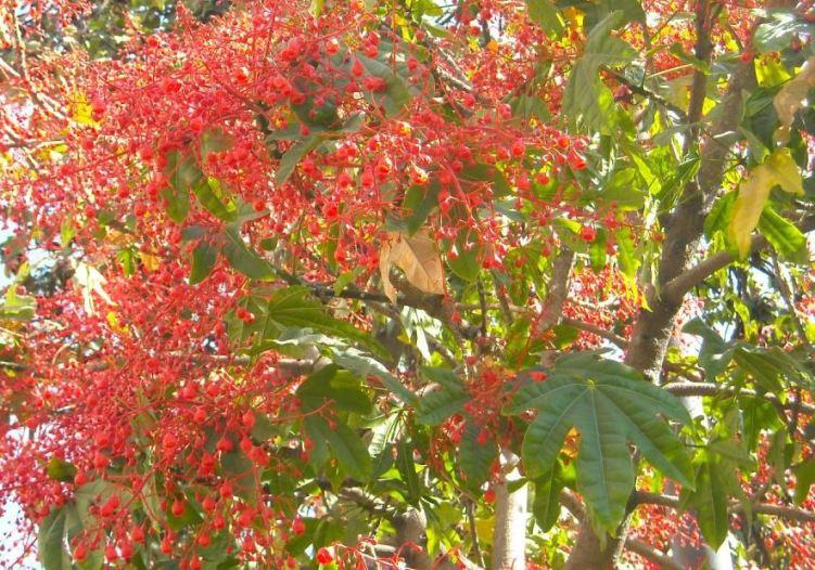 arbol flores rojas - Foro de InfoJardín