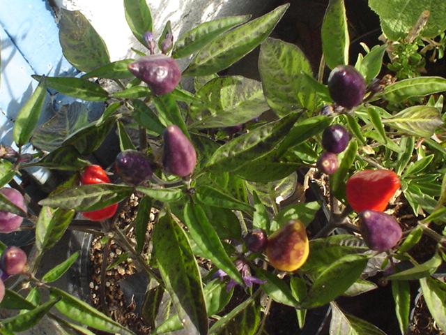 Flor de chile payaso en argentina se conoce como aj for Infos jardin
