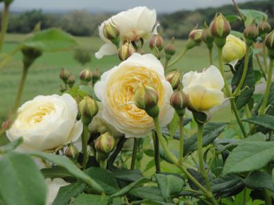 Rosales m s olorosos p gina 3 - Rosales trepadores perfumados ...