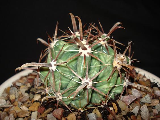 Ferocactus rescatado ayuda for Vivero feroxcactus