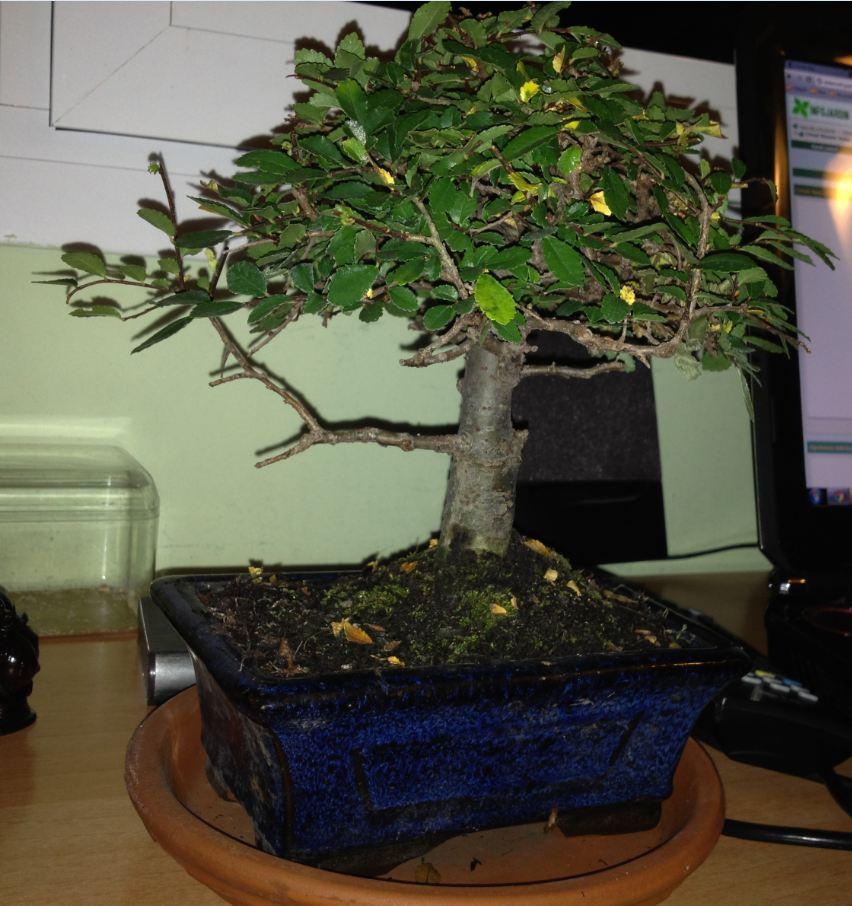Qu tipo de bons i es y c mo se cuida - Como se cuida un bonsai ...