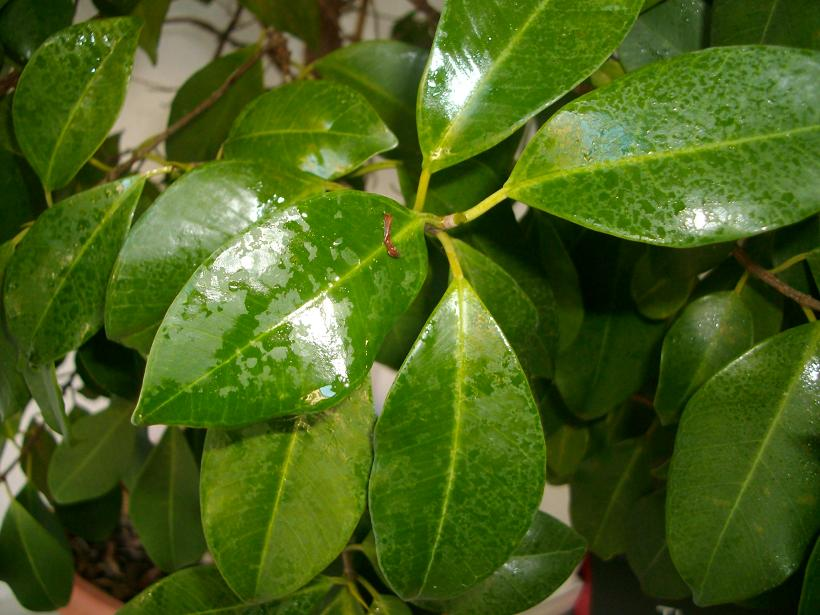 Ficus benjamina atacado por cochinillas for Ficus planta interior