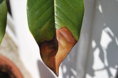 Magnolia con hojas quemadas - Abono para magnolios ...