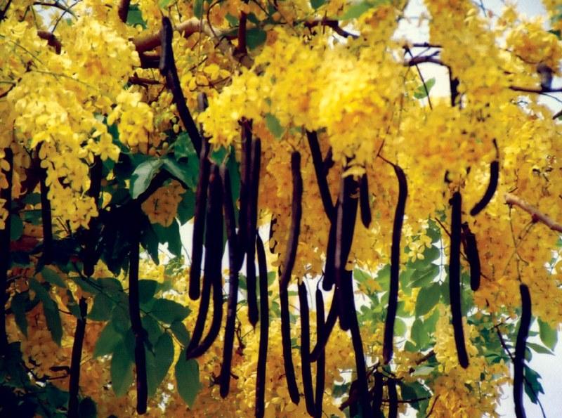 Ca a fistula amarelo pinterest for Infos jardin