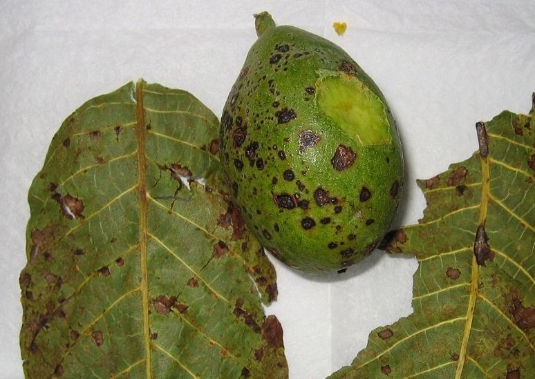 Nogueras con moteado o picaduras en hojas y nueces for Jardineria la noguera