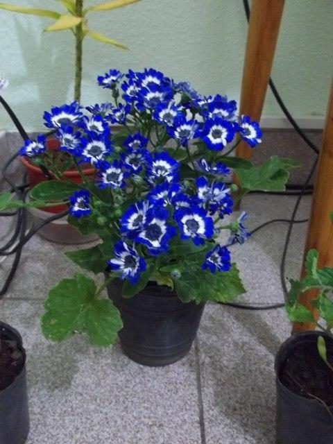 Planta perenne con flores azules infojardin tattoo for Infos jardin