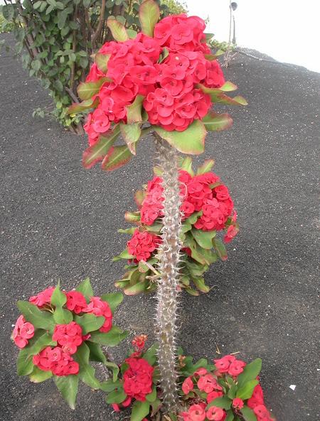 Otras tres ornamentales de lanzarote for Tres plantas ornamentales