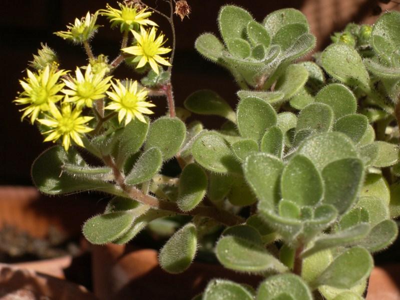 комнатные цветы эониум