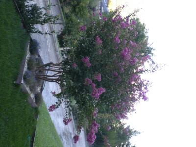 Nombre Arbusto Flores Moradas