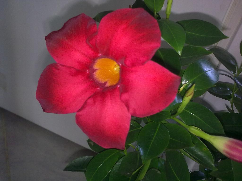 Pictures enredaderas con flores foro de infojardn hawaii for Infos jardin