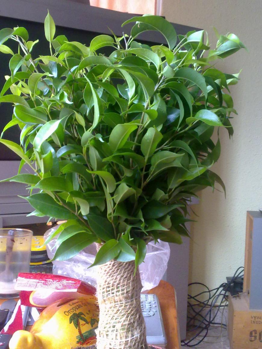 Bons i ficus benjamina natasja - Ficus benjamina precio ...