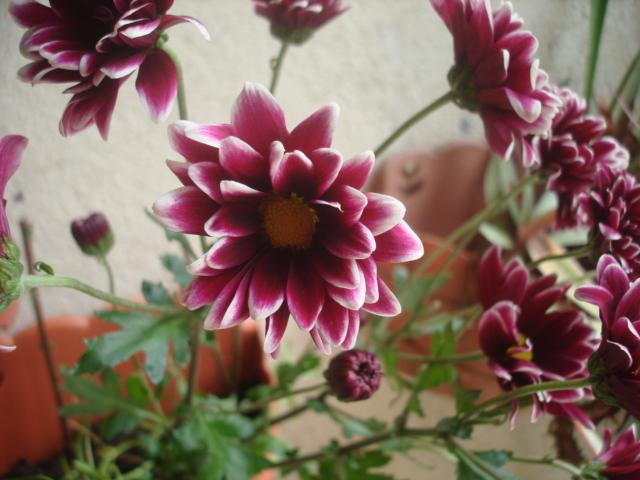 Crisantemos c mo esquejar y otras - Como cultivar crisantemos ...