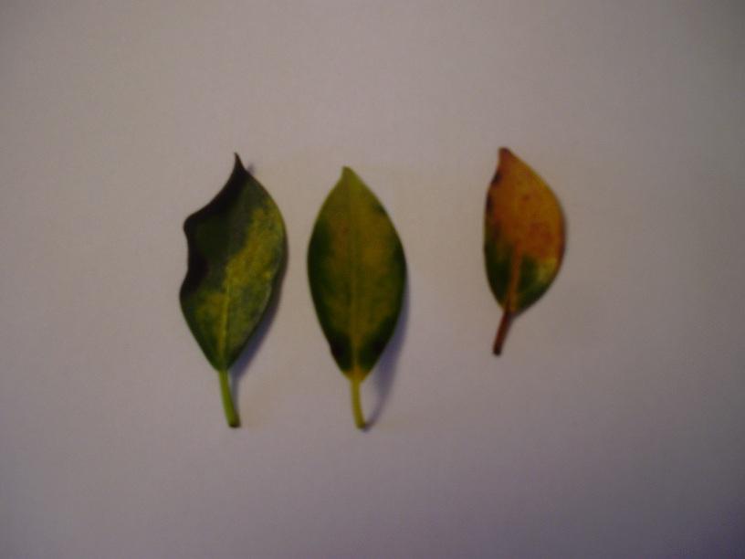 Ficus Retusa Con Hojas Amarillas Y Manchas Negras