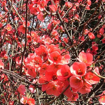 Arbusto Sin Hojas Con Flores Naranjas