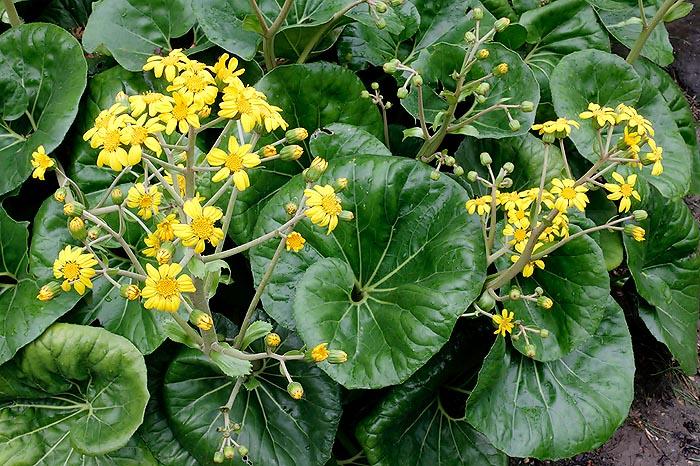 2797c8d7a6490 Ficha de boina de vasco (Farfugium japonicum)