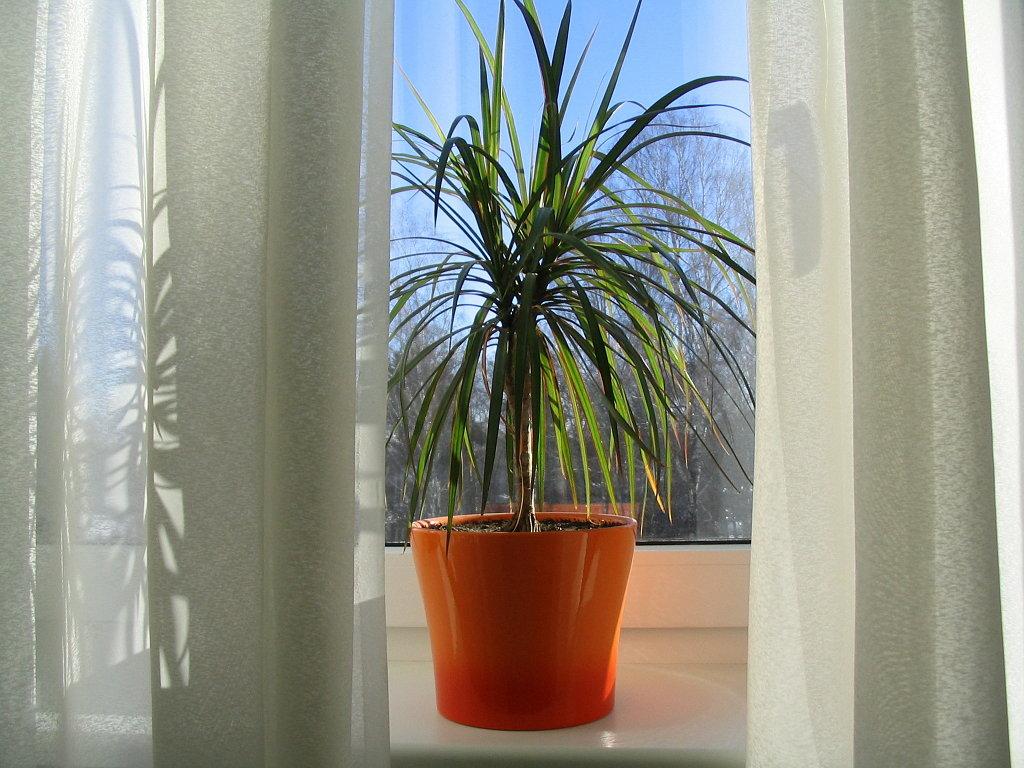 Dr cena marginata foto en interior y consejos de cultivo - Tipos de palmeras de interior ...