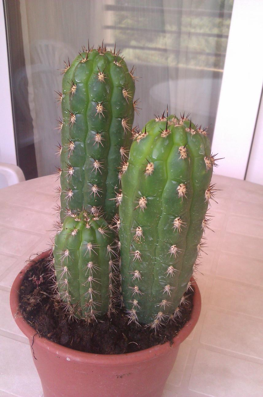 Pin tipos de cactus on pinterest for Tipos de cactus