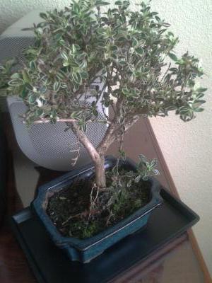 Mi primer bons i serissa phoetida variegata fotos y - Bonsai verdecora ...