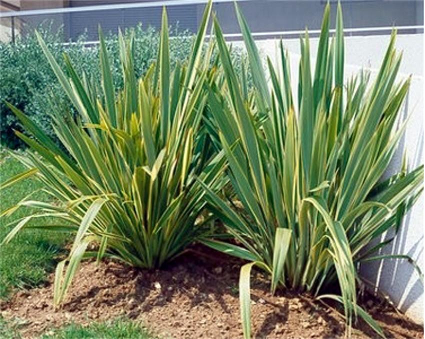 Ficha de formio variegado phormium tenax variegata for Pianta ornamentale con foglie rosse e verdi