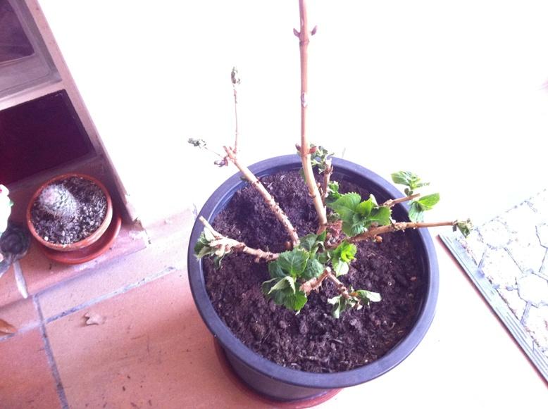 Poda de hortensias p gina 3 - Poda de hortensias epoca ...