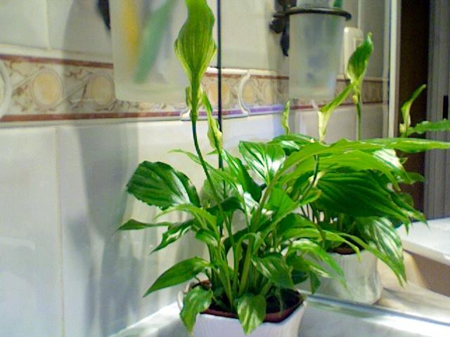 Espatifilo o cuna de mois s flores verdes pistilo y puntas marrones - Planta cuna de moises ...