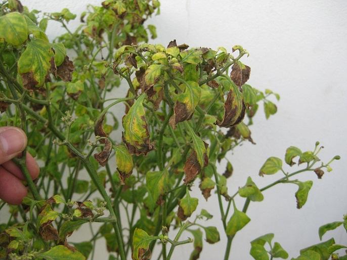 Planta de chile piqu n for Planta de chile