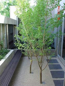 Rbol en maceta para patio interior acristalado cul - Arboles de interior ...