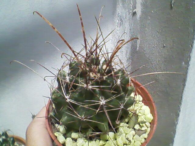Ferocactus hamatacanthus papiracanthus for Feroxcactus chile