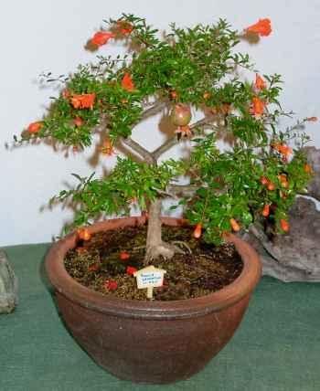 Fotos de nuestros frutales en maceta foro de infojardn for Cultivo de arboles frutales en macetas