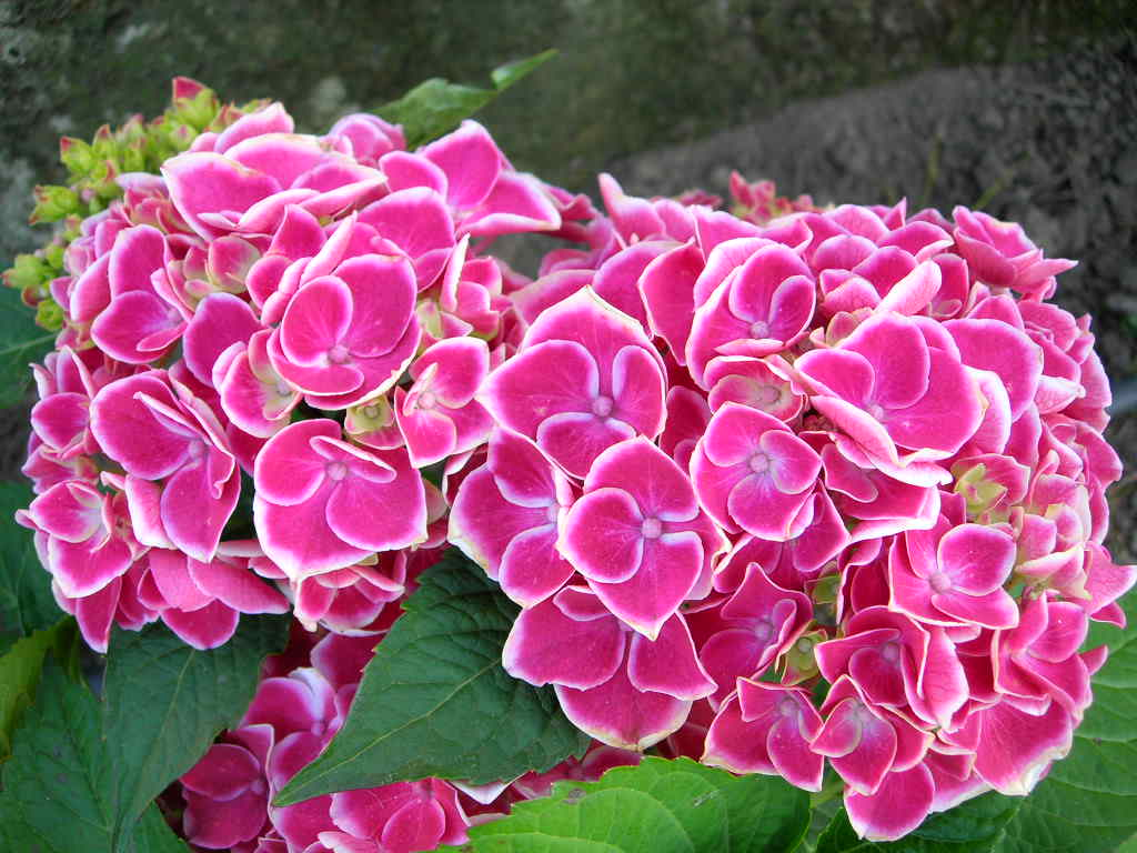 Comprar hortensias for Plantas hermosas para interiores