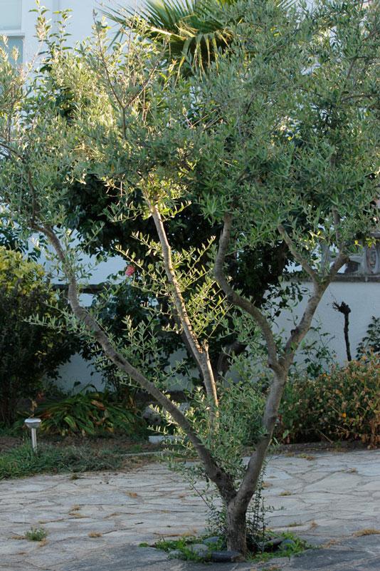 Epoca de poda de oliva en maceta casa dise o - Poda de hortensias epoca ...