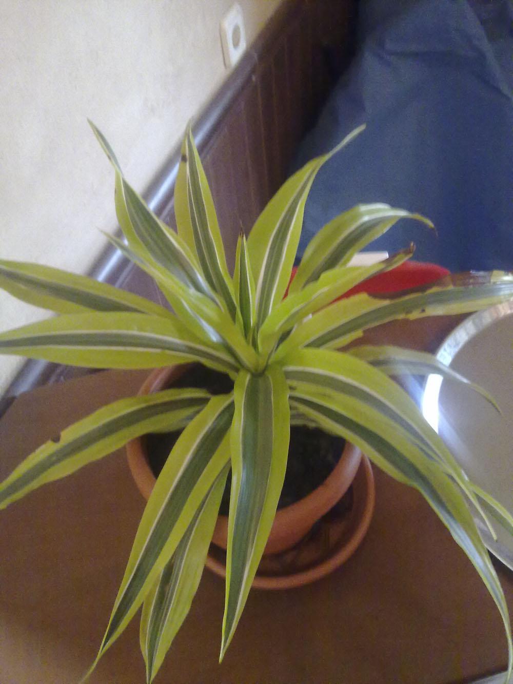 Cinta quemada por el sol - Cinta planta ...