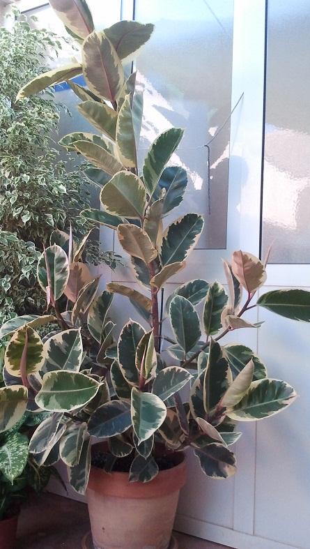 Poda de ficus elastica tineke - Ficus elastica cuidados ...