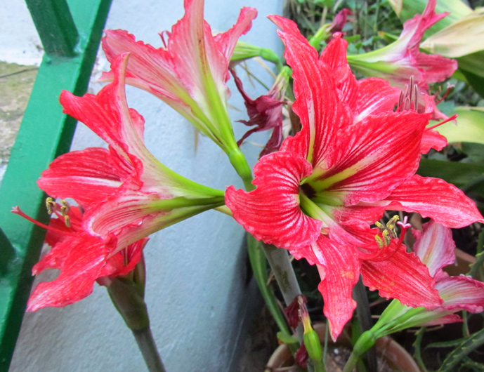 Tres plantas espont neas for Tres plantas ornamentales