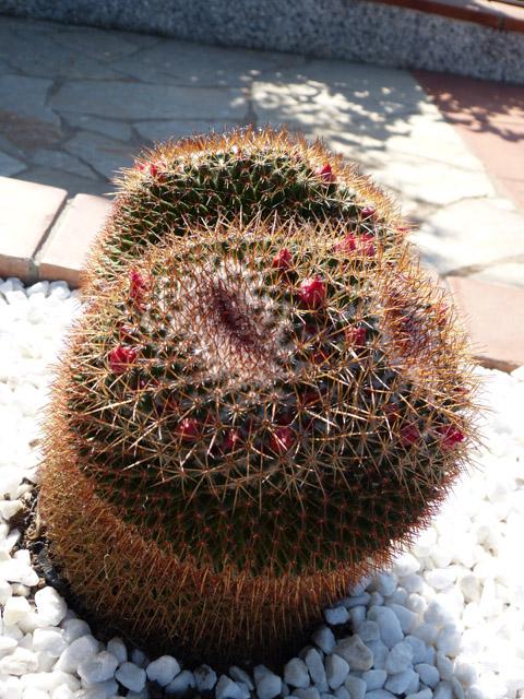 3 identificaciones cactus 02 - Infojardin cactus ...