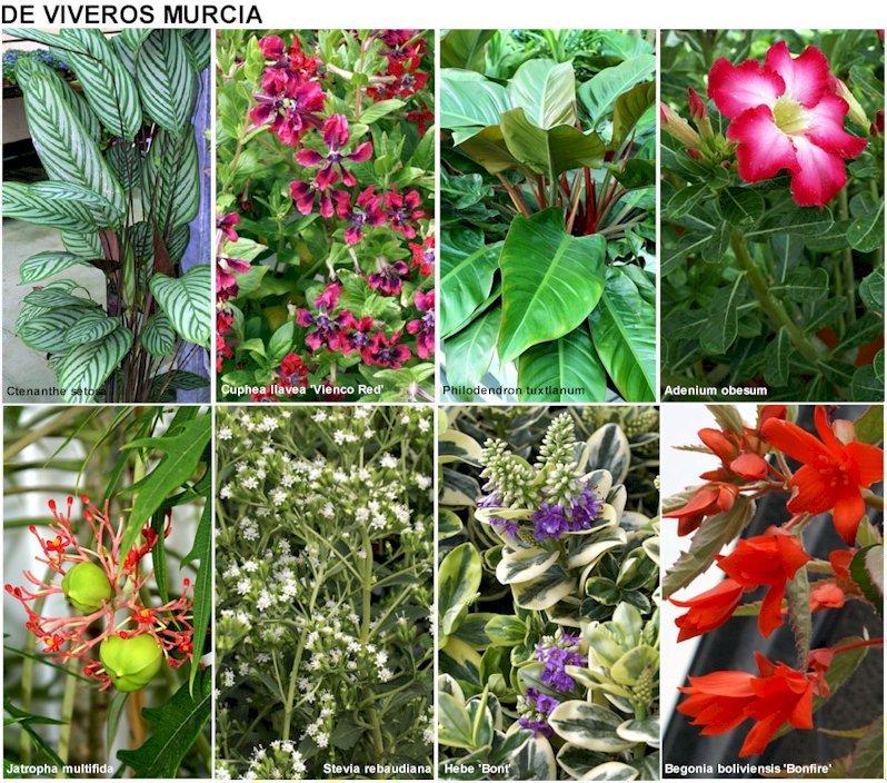 Fotos de plantas con sus nombres de vivero de murcia y for Imagenes de viveros de plantas ornamentales