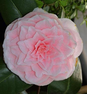 Ficha de camelia camellia japonica - Cuidados de la camelia japonica ...