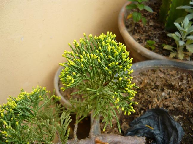 Juniperus Con Chinensis 2 Brotacion De Colores 55rcWv