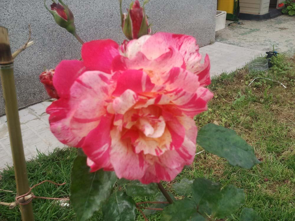 D nde comprar rosales meilland y raros por internet - Donde comprar por internet ...